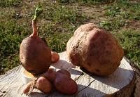 Урожай картофеля-2010