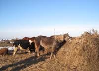 Табунное животноводство в ООО Рождественское
